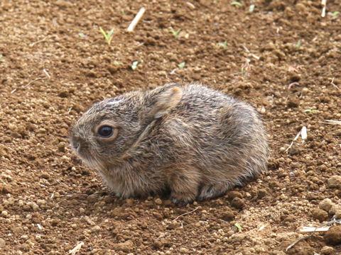 ニホンノウサギの画像 p1_33