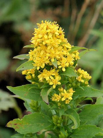 アキノキリンソウ (Solidago virgaurea ssp. asiatica)