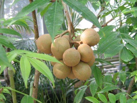 http://www.botanic.jp/plants-aa/amutam_2.jpg
