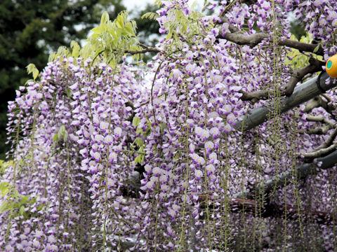 Wisteria floribunda geisha