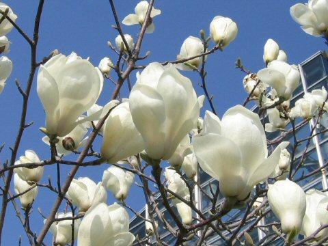 shu homepage ������ magnolia heptapera