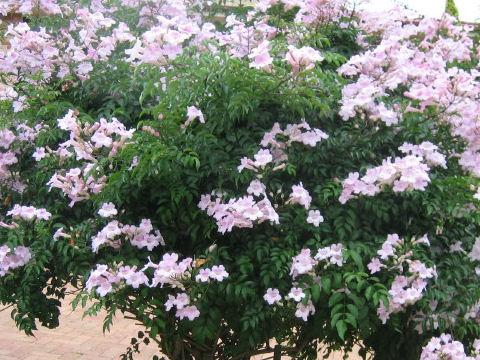 http://www.botanic.jp/plants-ha/pinkno_4.jpg