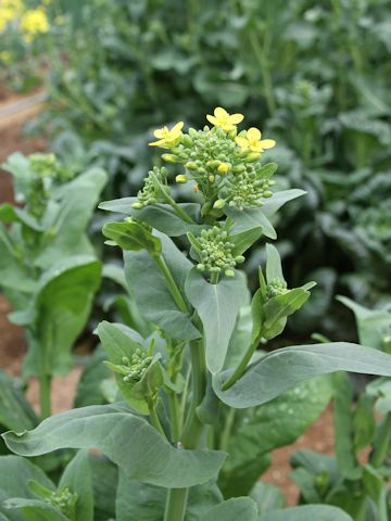 Ploidía. Su papel en la Evoluciñon de las Plantas Cultivadas Komana_5