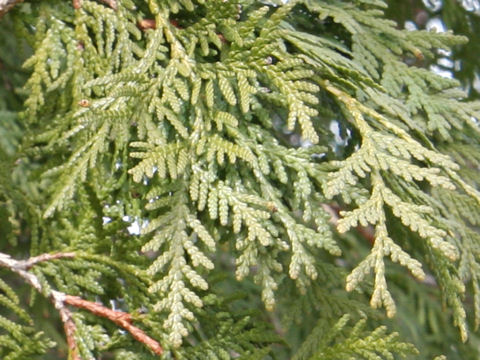 shu homepage ���� thuja occidentalis